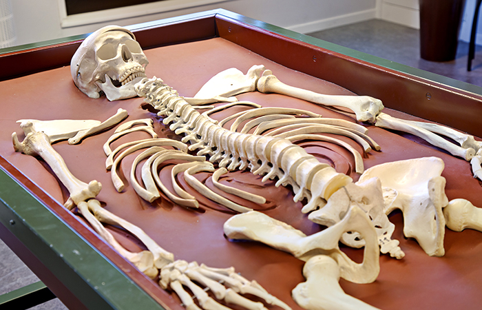 Skelettpussel